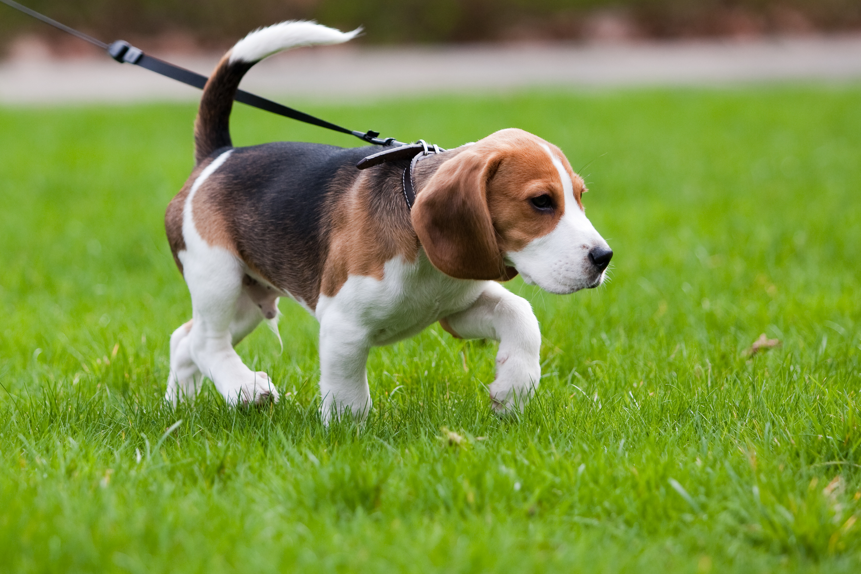 Un chien apporte d'autres bénéfices pour la santé : une meilleure santé mentale et une moindre perception de l'isolement social, 2 autres facteurs de risque de crise cardiaque