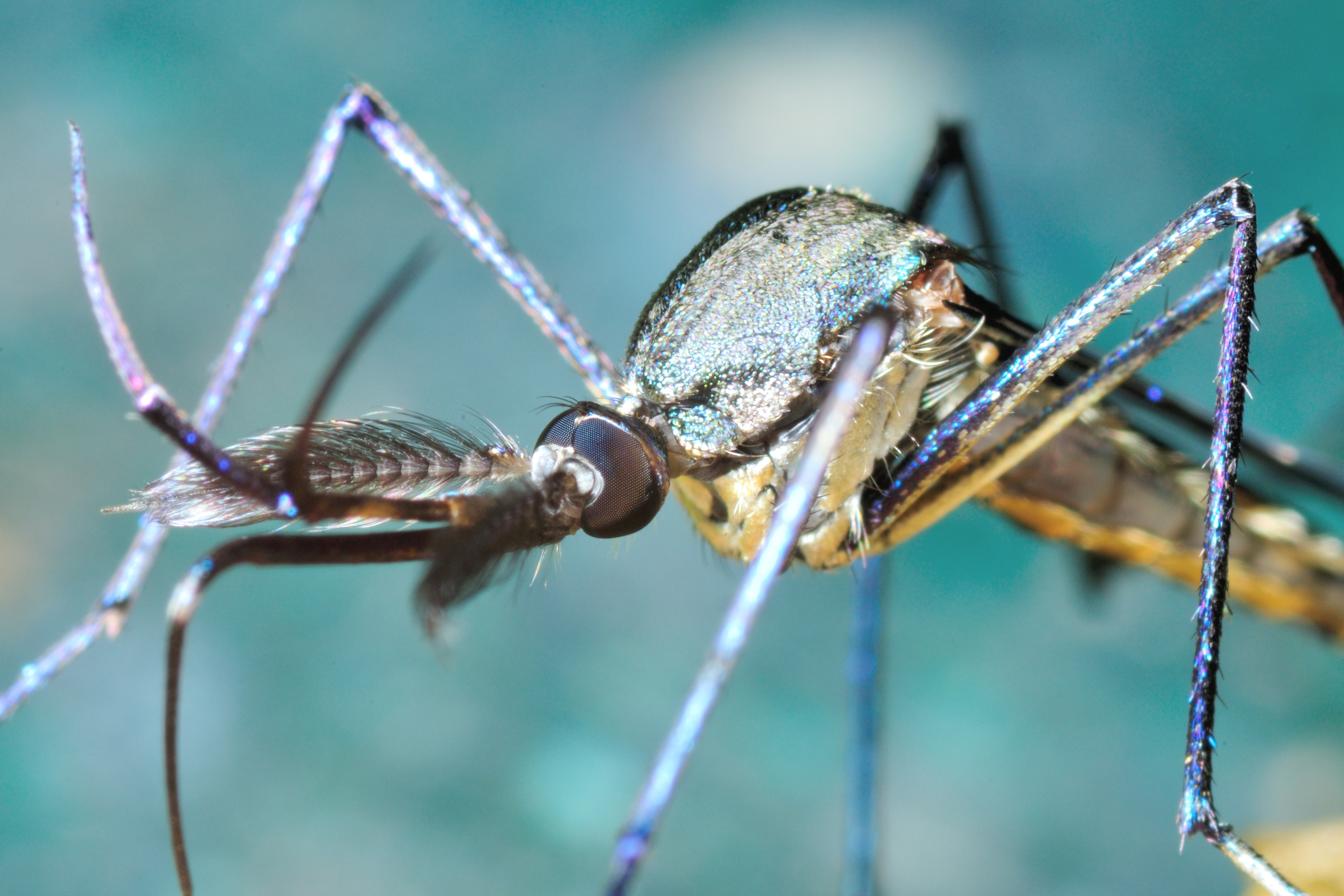Zika + le chikungunya ensemble peuvent déclencher l'accident vasculaire cérébral.(Visuel Adobe Stock 99100910)