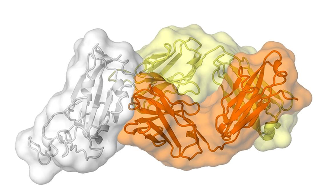 Cet anticorps appelé CR3022, produit par un patient en réponse au SRAS, se lie également au nouveau coronavirus SARS-CoV-2