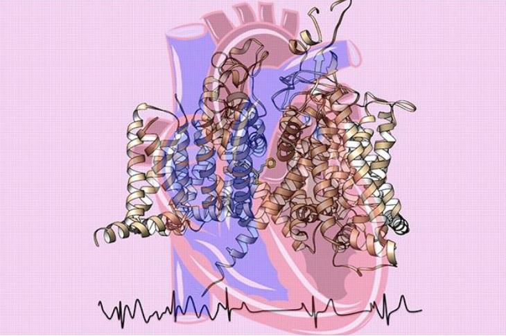 Le cœur est à la fois une merveille de plomberie et d'électricité