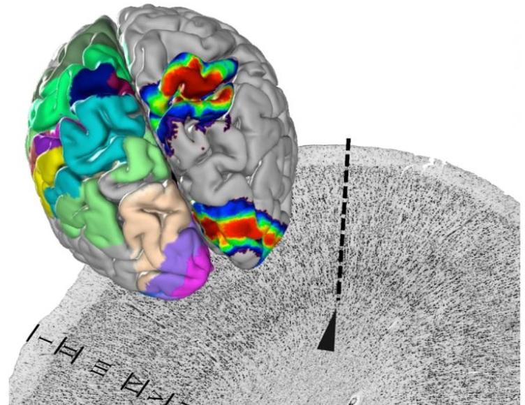L'atlas permet en effet de « consulter » l'architecture des cellules nerveuses au sein d'une zone cérébrale précise mais aussi à la frontière entre 2 zones (Visuel Forschungszentrum Juelich / Katrin Amunts)