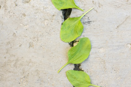 Près des deux tiers des apports caloriques des Chimane proviennent de glucides complexes, en particulier de bananes plantains et de riz.