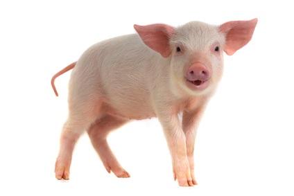 De nombreux organes du porc sont semblables aux organes humains et pourraient être des candidats intéressants pour les nombreuses greffes humaines