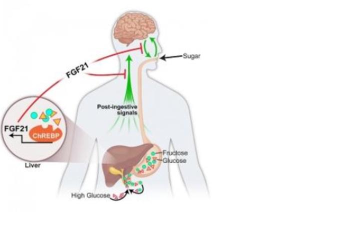 Produite dans le foie, FGF21 agit dans le cerveau pour supprimer l'apport en sucre et la préférence pour le goût sucré. (Schéma@University of Iowa)