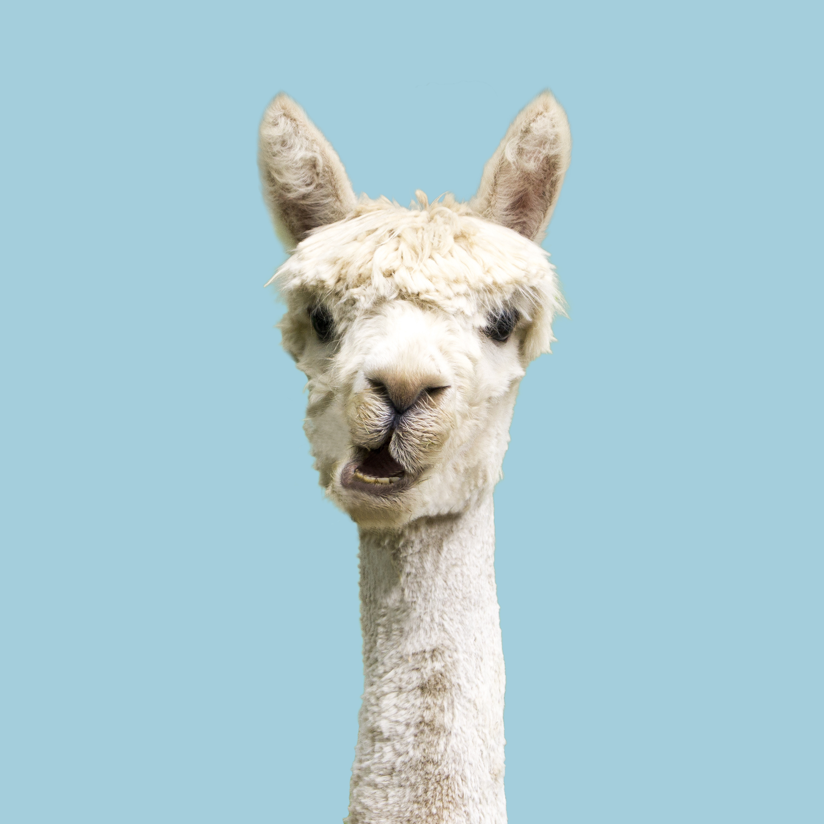 Des anticorps de lama pourraient constituer la base du futur vaccin anti-COVID-19 (Visuel AdobeStock_294019074)