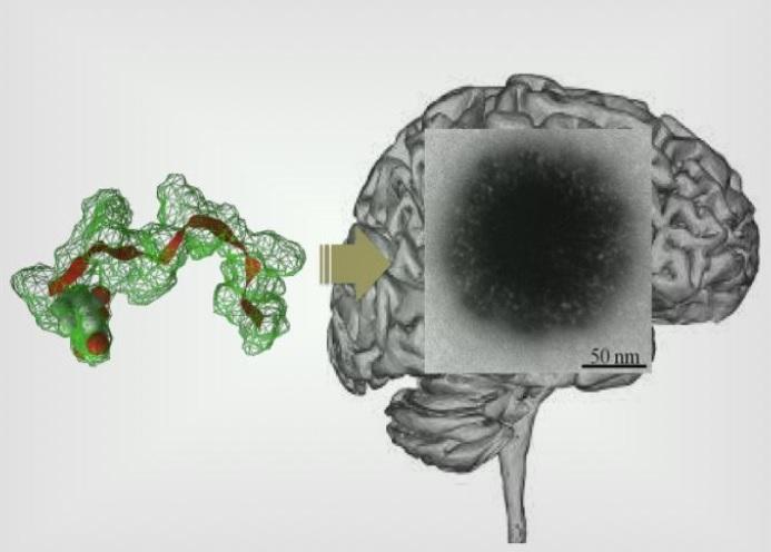 Un auto-assemblage peptidique, « à poils », va délivrer l'agent actif dans le cerveau