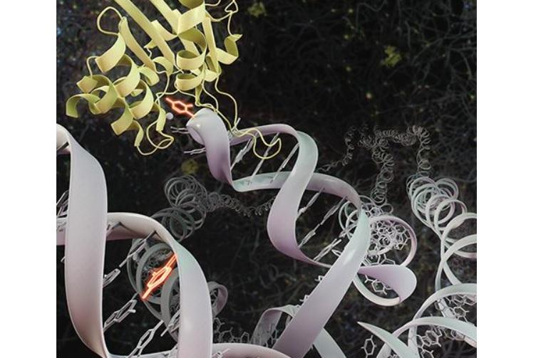 Cibler les cellules cancéreuses avec des niveaux élevés de cette protéine APOBEC3A peut perturber leur réparation et induire un effet anticancéreux (Visuel UCI School of Medicine)