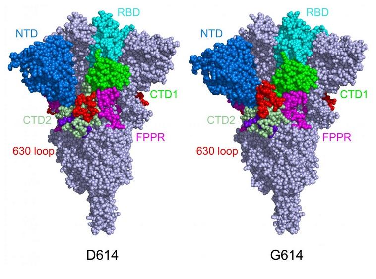 Les « pics » deviennent plus fonctionnels, se lient plus facilement aux récepteurs ACE2 des cellules hôtes, ce qui renforce l'infectiosité du virus (structure de la protéine de pointe dans sa configuration fermée, dans sa forme d'origine (à gauche) et sa forme mutante (à droite)). (Visuel Bing Chen, PhD, Boston Children's Hospital)