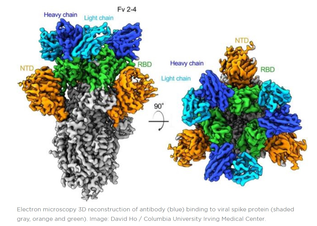 L'équipe vient de découvrir ces anticorps parmi les plus puissants pour neutraliser le virus SARS-CoV-2 (Visuel David Ho / Columbia University Irving Medical Center)