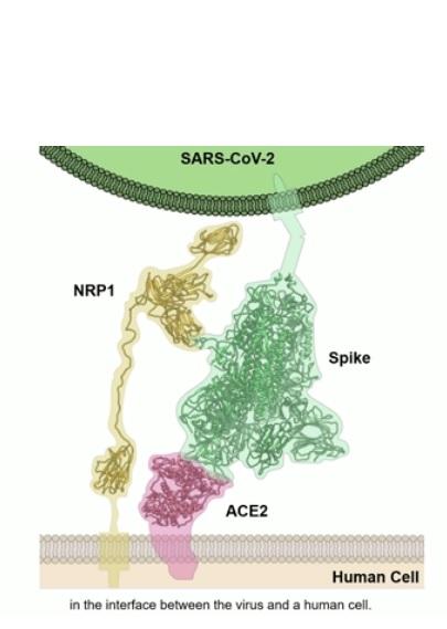 Une minuscule protéine du virus, la protéine N (pour Nucleocapside), avec laquelle interagissent les anticorps de patients atteints de COVID-19, est conservée dans tous les coronavirus pandémiques de type SARS (Visuel NIH)