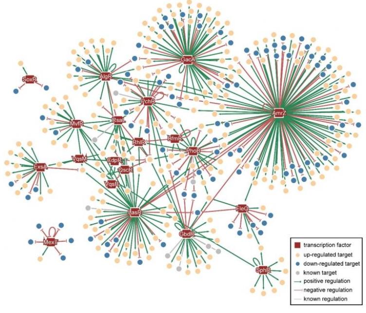 Décrypter le mécanisme régulateur de la « supervirulence » de certaines souches de Pseudomonas aeruginosa, c'est identifier de nouvelles cibles pour de nouveaux antibiotiques.