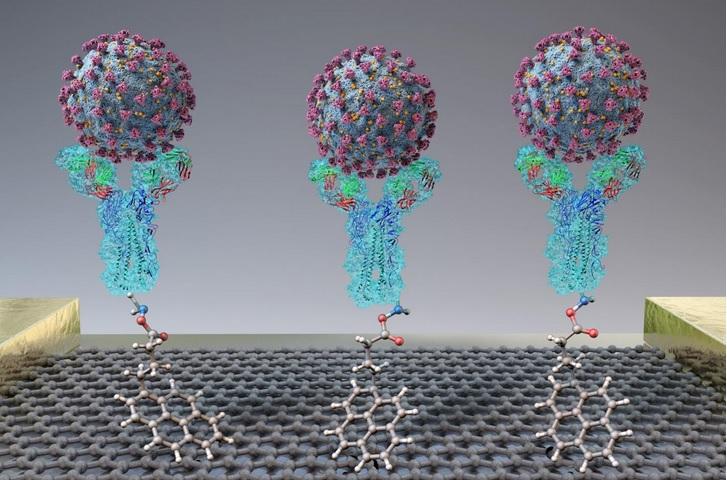 Lorsqu'une protéine de pointe du virus ou un virus SARS-CoV-2 se trouve à proximité du capteur, la liaison à l'anticorps (en forme de Y sur le visuel), cela induit une modification du courant électrique.