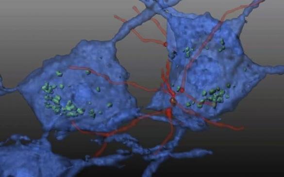 La greffe sur la souris modèle d'ataxie de Friedreich est rapidement suivie d'une différenciation de ces cellules souches hématopoïétiques en cellules microgliales (en rouge sur visuel) qui vont transférer la protéine mitochondriale (verte) aux neurones (en bleu), bloquant ainsi la neurodégénérescence.