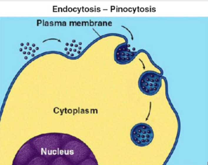 Schéma « Pinocytosis » William Stillwell, in An Introduction to Biological Membranes (Second Edition), 2016 : https://www.sciencedirect.com/topics/medicine-and-dentistry/pinocytosis