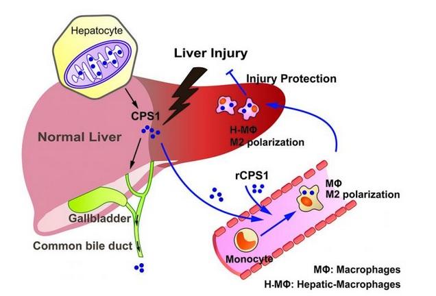 L'enzyme (CPS1) apparait comme une cible très prometteuse dans le traitement des dommages au foie.