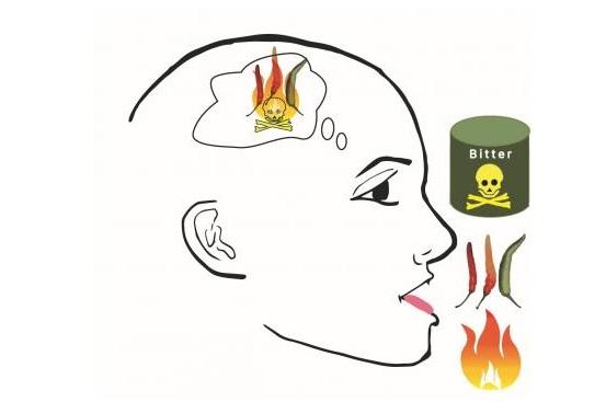 Les signaux de goût et de douleur se rejoignent dans le cerveau et utilisent les mêmes circuits.