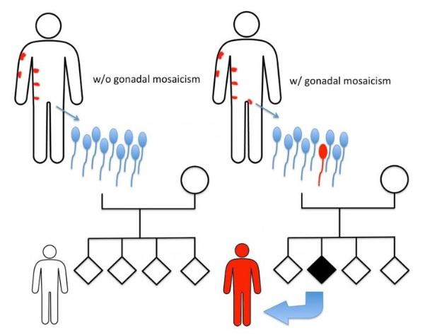 Il s'agit d'une mutation qui du spermatozoïde du père va entraîner une maladie dermatologique chez la fille