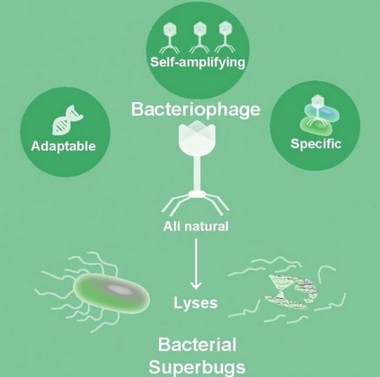 Les phages sont-ils notre meilleur espoir contre les bactéries résistantes aux antibiotiques ?