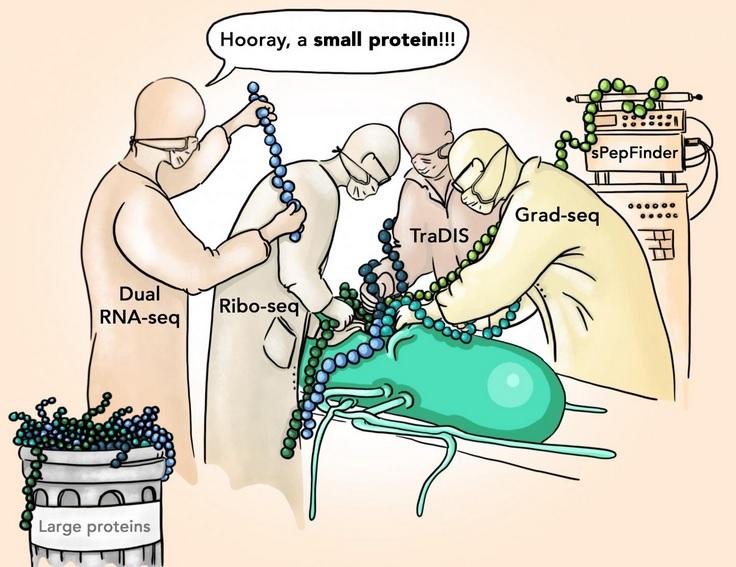 La découverte de nouvelles petites protéines de la salmonelle, susceptibles de jouer un rôle crucial dans l'infection, va permettre de développer des traitements plus efficaces (Illustration Sandy Westermann / SCIGRAPHIX).