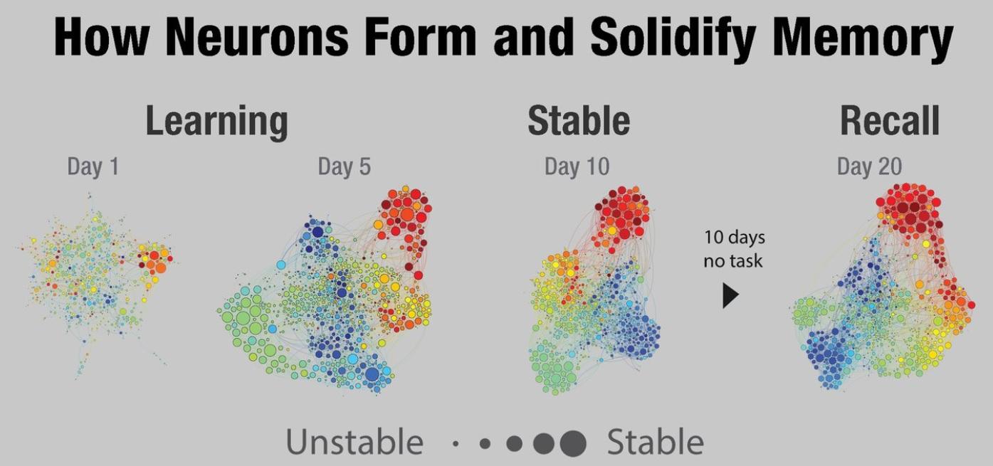 Les souvenirs « forts » ont été codés par plusieurs équipes de neurones qui travaillent ensemble de manière synchrone