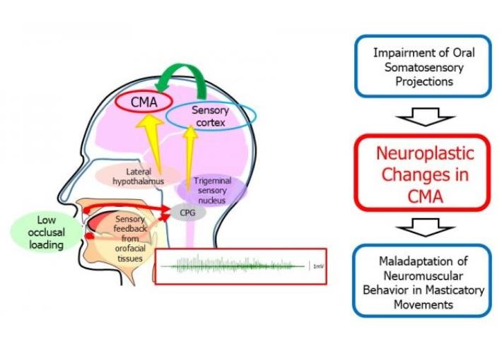 Les souris nourries avec des aliments mous présentent des mouvements et une activité électrique altérés dans les muscles de la mâchoire (Visuel Scientific Reports)