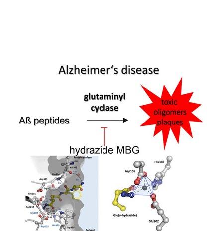 Cette enzyme spécifique, le glutaminyl cyclase, qui fait partie du métabolisme hormonal du cerveau humain, joue un rôle physiopathologique essentiel dans le développement de la maladie d'Alzheimer