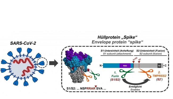 Cette séquence d'activation apparaît ici clivée par l'enzyme cellulaire furine (Schéma Markus Hoffmann)