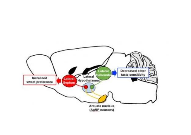 Les neurones glutamatergiques de l'hypothalamus modulent à leur tour les préférences gustatives