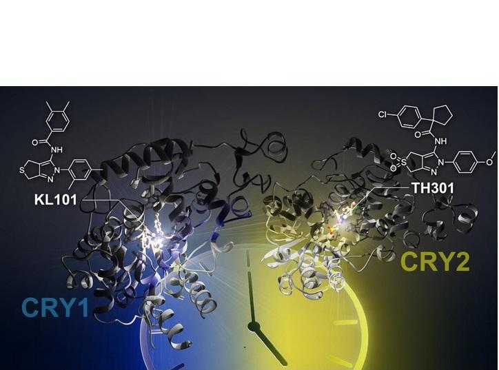 Ces petites molécules, KL101 et TH301, allongent la période de l'horloge circadienne
