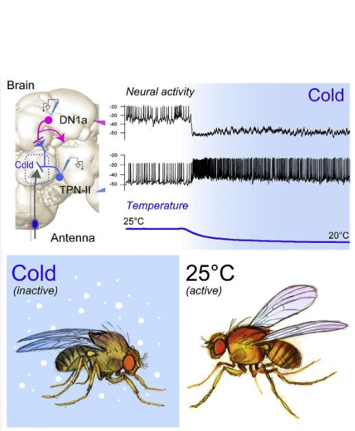 Ces récepteurs de froid, présents dans l'antenne de la mouche, qui ne répondent qu'à une température en-dessous de la « zone de confort » de la mouche