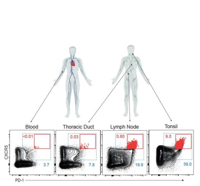 """Les Tfh sont collectées dans les canaux thoraciques humains - le principal """"tuyau de drainage"""", mais difficile d'accès, qui transporte le liquide qui coule du système lymphatique vers la circulation sanguine"""