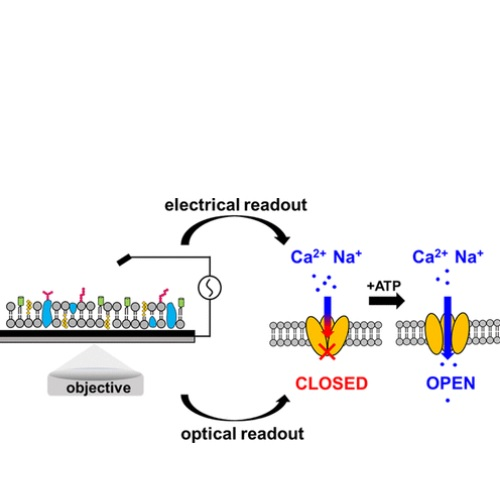 Une puce électronique mesure tout changement dans la membrane ce qui permet aux scientifiques de comprendre comment la cellule interagit avec le monde extérieur.(Visuel ACS Langmuir)