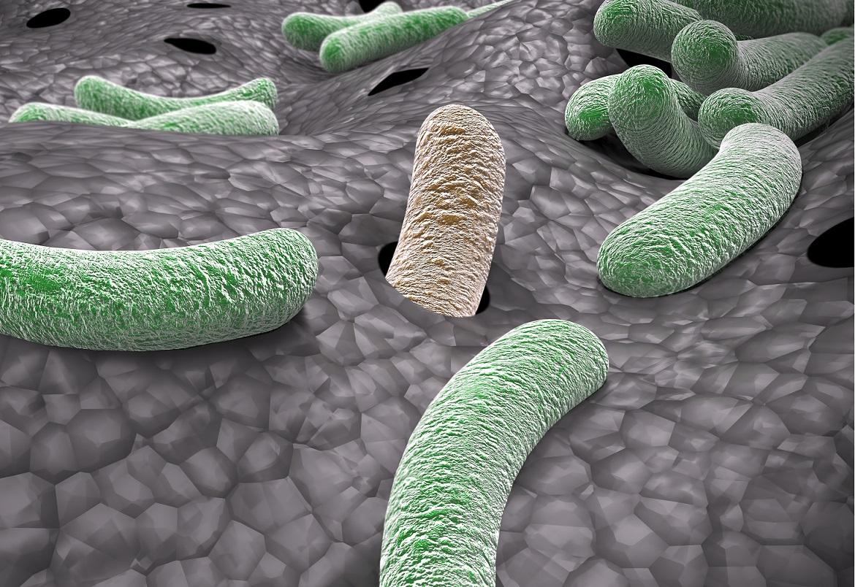 Un microbiote des voies respiratoires dominé par les genres Corynebacterium + Dolosigranulum est associé à des résultats cliniques favorables par rapport à un microbiote dominé par des bactéries plus pathogènes de types Staphylococcus, Streptococcus et Moraxella
