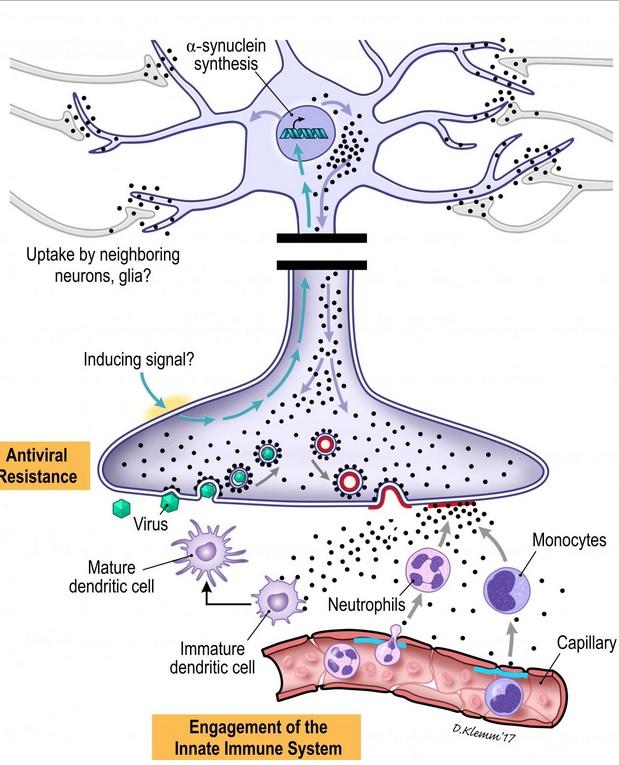 Les agrégats d'alpha-synucléine proviennent du système nerveux entérique (ENS) et remontent jusqu'au système nerveux central (SNC)