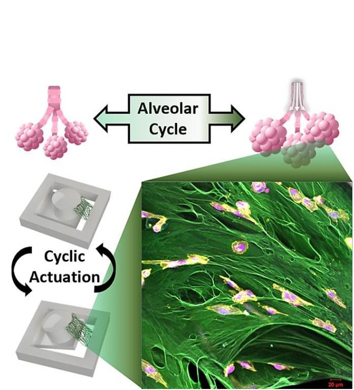 Cette plateforme de test, grâce à son système de culture cellulaire et à la possibilité d'appliquer des forces mécaniques sur un tissu suspendu apporte ainsi une nouvelle compréhension biologique des métastases (Visuel Université Purdue / Hyowon Lee)