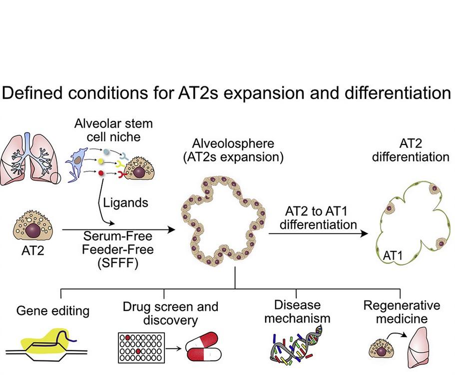 Ainsi, une seule cellule AT2, isolée dans de minuscules plats, peut se multiplier pour produire des millions de cellules qui s'assemblent presque naturellement en organoïdes en forme de ballon avec alvéoles.