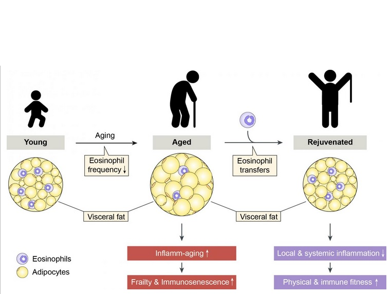 Rajeunir passe par le rétablissement de l'homéostasie immunitaire dans les adipocytes (Visuel DBMR, University of Bern, D. Brigger)
