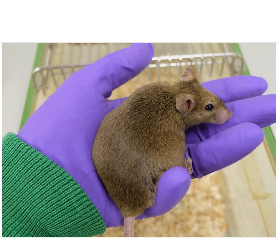 Si des souris âgées soumises à une restriction calorique perdent alors du poids, l'activité des gènes dans le tissu adipeux reste similaire à celle des souris qui continuent à manger autant qu'elles le souhaitent