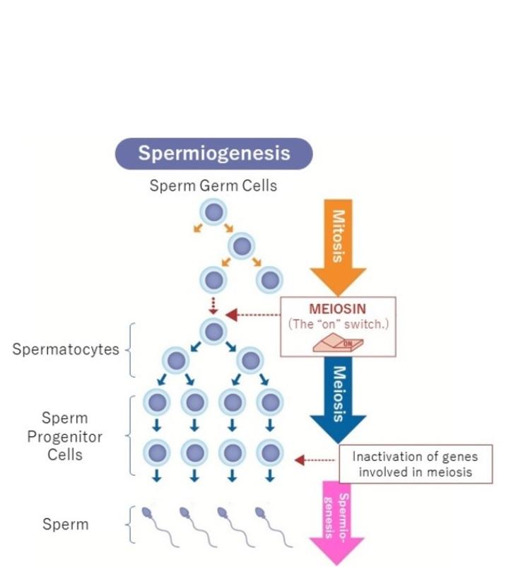 L'équipe avait déjà identifié MEIOSIN, un gène qui active la méiose et provoque l'activation simultanée de centaines de gènes impliqués dans la formation des spermatozoïdes et des ovules (Visuel Dr. Yuki Takada & Prof. Kei-ichiro Ishiguro)