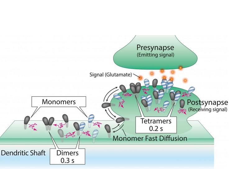 Dès leur séparation, les sous-nuités du récepteur séparées trouvent d'autres molécules partenaires pour former de nouveaux assemblages de deux, trois et quatre molécules, répétant continuellement ce processus.