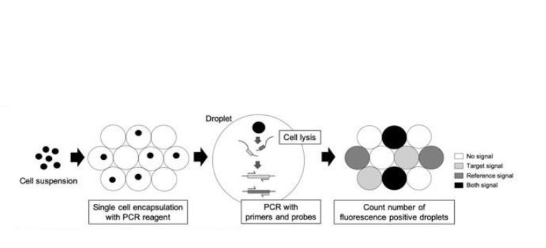 Les chercheurs japonais parviennent à évaluer les données génétiques de cellules fœtales extrêmement rares, circulant dans le sang périphérique maternel.