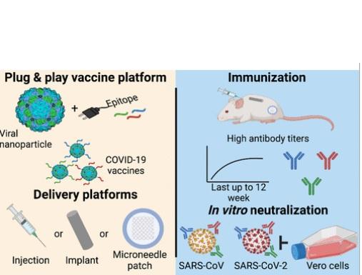 Ces deux familles de virus présentent des avantages pour la fabrication des vaccins. Ces virus faciles et peu coûteux à produire à grande échelle. Et, surtout, le virus végétal et les nanoparticules de bactériophage sont extrêmement stables à haute température (Visuel Journal of the American Chemical Society)