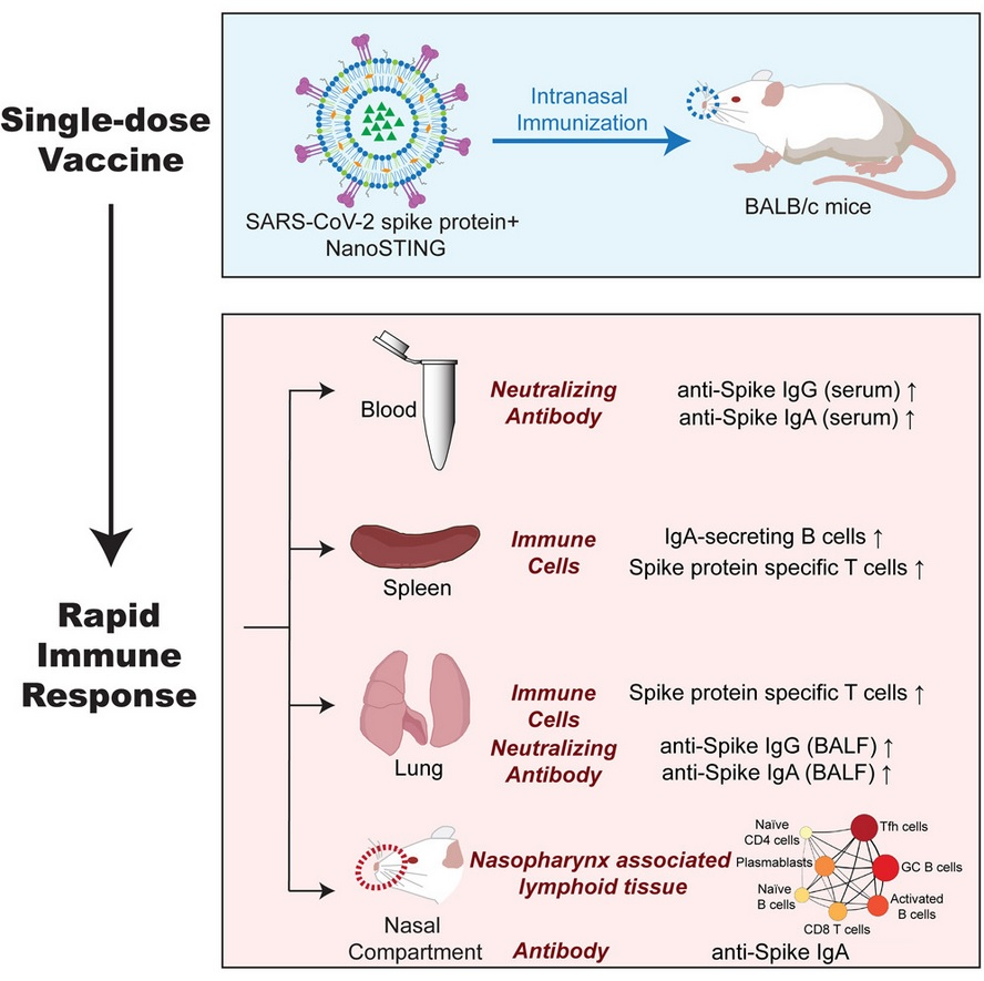 la formulation du vaccin candidat nasal, à base de protéine virale lyophilisée et de l'adjuvant NanoSTING, ici testé chez la souris se révèle ici sûre, produit rapidement en quelques jours une réponse immunitaire suffisante et suscite une immunité complète et durable contre le SRAS-CoV-2 (Visuel iscience)