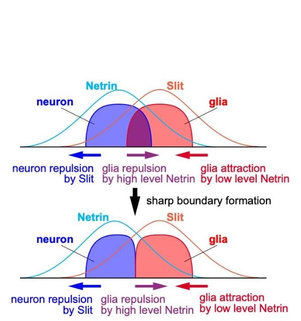 La nétrine produite par les neurones attire les cellules gliales lorsque sa concentration est basse. Mais son rôle est commuté pour devenir répulsif lorsque sa concentration est élevée.