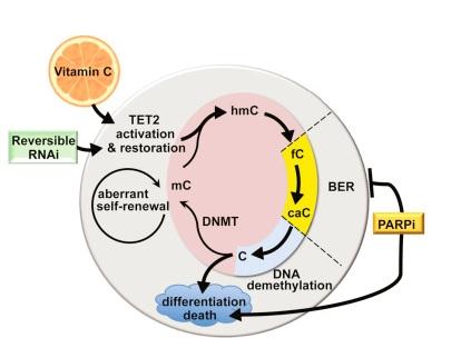 La vitamine C s'avère, chez la souris, suffisante pour bloquer l'auto-renouvellement aberrant de cellules souches pré-leucémiques.