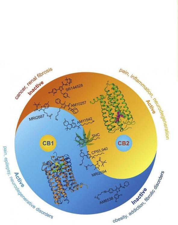 Les substances activant l'un des récepteurs peuvent en réalité affaiblir ou inhiber l'autre, et inversement.