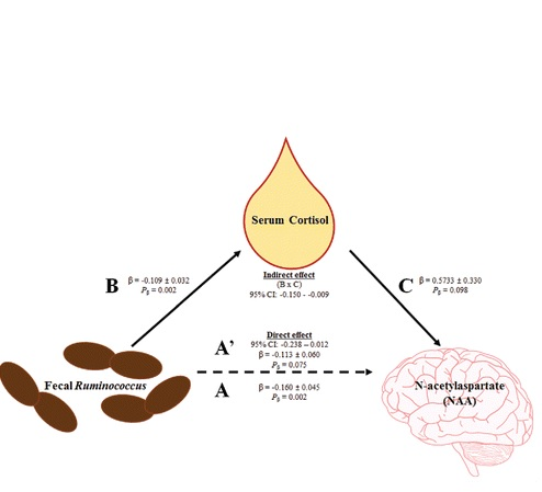 Certaines bactéries sont associées au niveau de cortisol sanguin