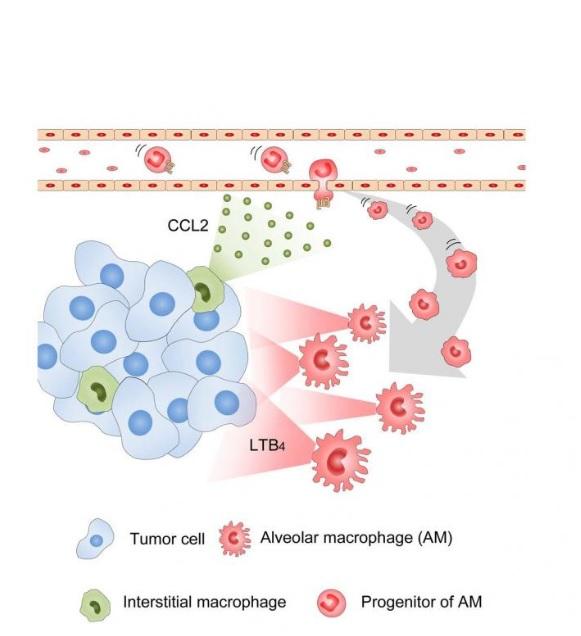 Le recrutement de ces AMs dans les poumons et à partir de la circulation sanguine est contrôlé par des IM qui expriment une molécule de signalisation, CCL2, impliquée dans une voie biologique qui contrôle l'accumulation des AMs.