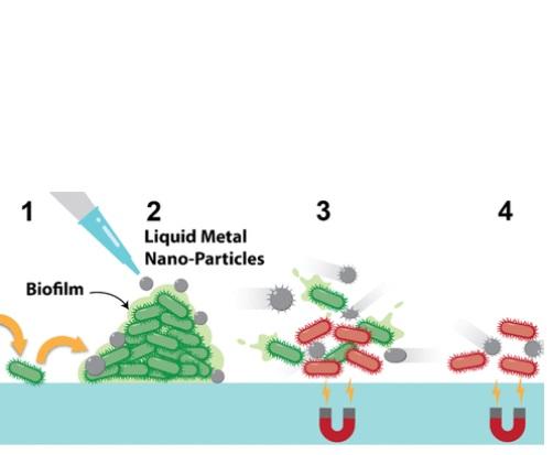 Une fois exposées à un champ magnétique de faible intensité, les gouttelettes métalliques sont physiquement actionnées de manière à développer des pics qui vont « déchirer » physiquement les cellules bactériennes