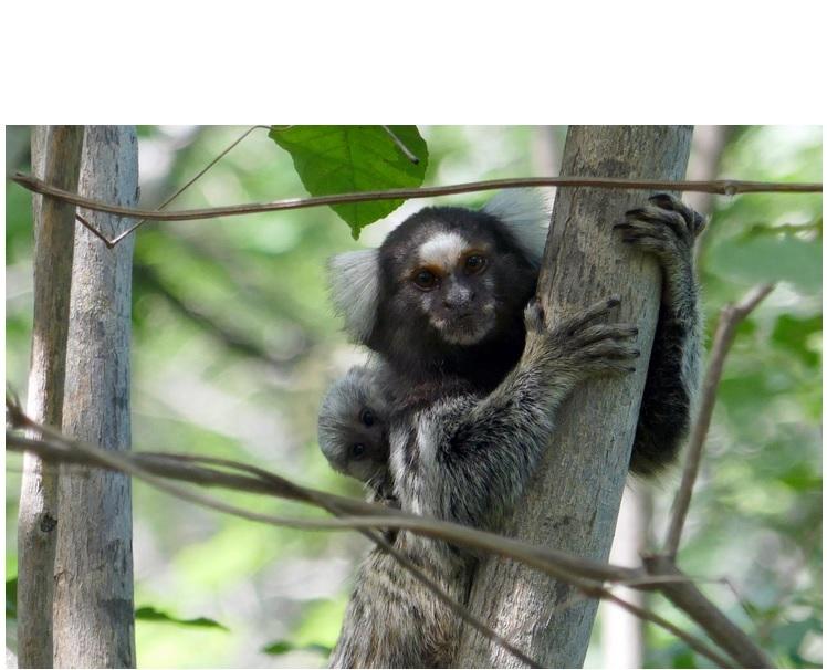 Ainsi, chez les ouistitis, le père et les autres membres du groupe aident la femelle à élever les petits.